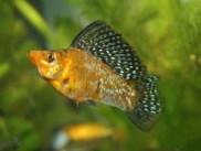 sailfin-molly-fish