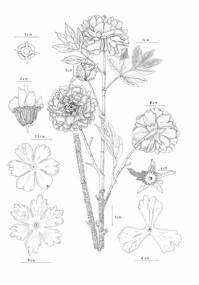 Chris Chong Chan Fui, Botanic Series