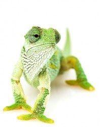 Business Chameleon