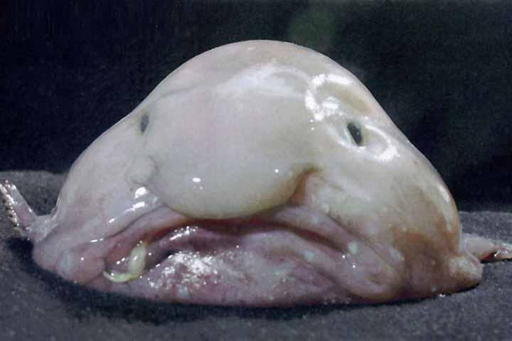 Blobfish - Scherzi della natura o che?