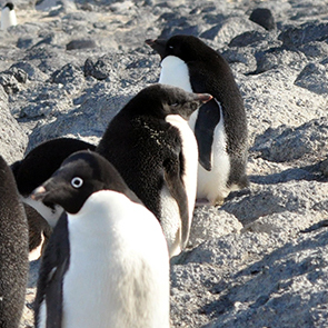 A Symphony of Penguins