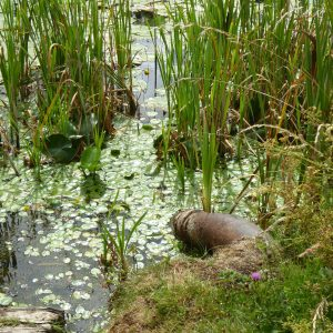 Still pond water with reeds and small plants on surface of water.