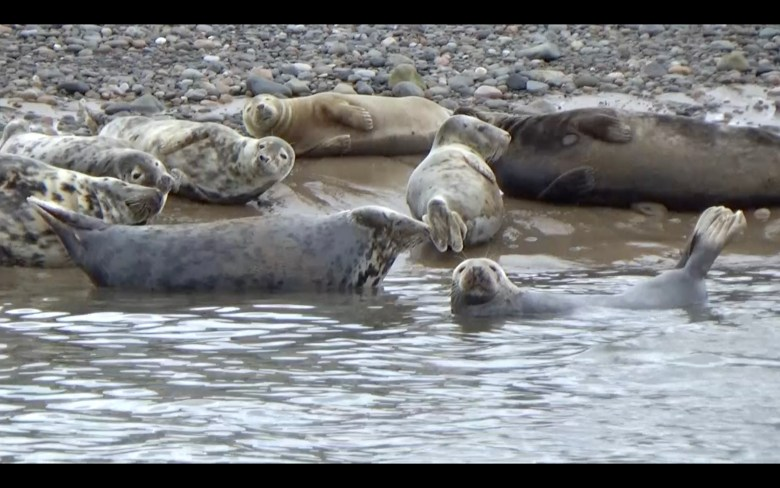 eight seals lounging on a stony shore, with one of them half submerged in water. Image taken as a screenshot from the film Jaunt to Piel by Rachel Capovila