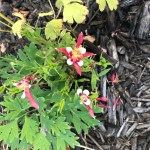 Red Columbine that Faces Up