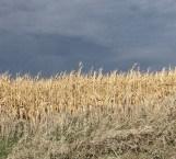 Iowa Cornfield. (Photo: Patricia Teter. All Rights Reserved.)