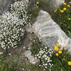 Summer flowers in Greenland