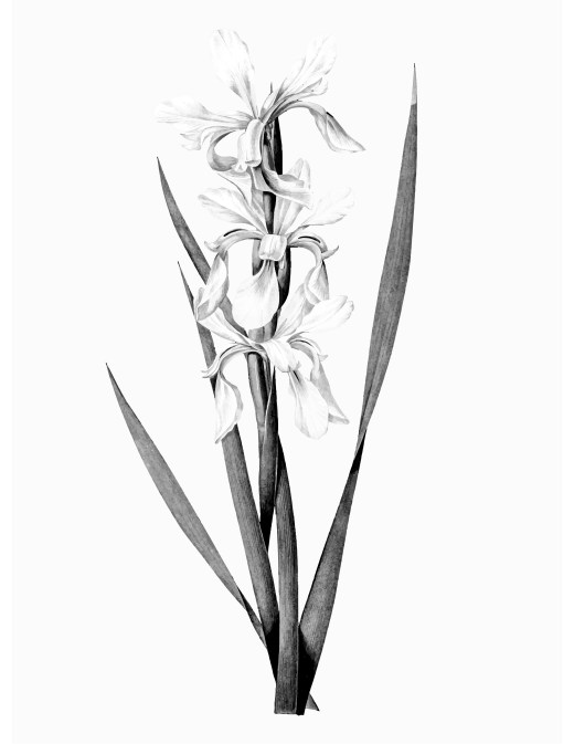 Photo banded iris grayscale à colorier