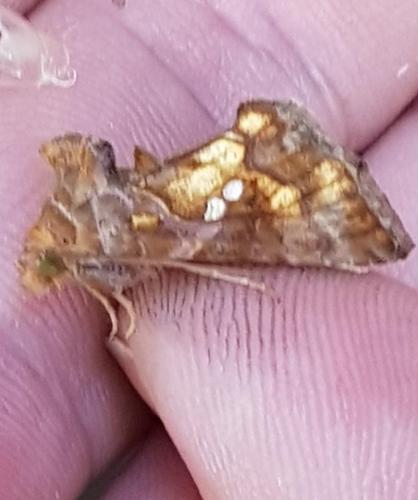 papillon doré