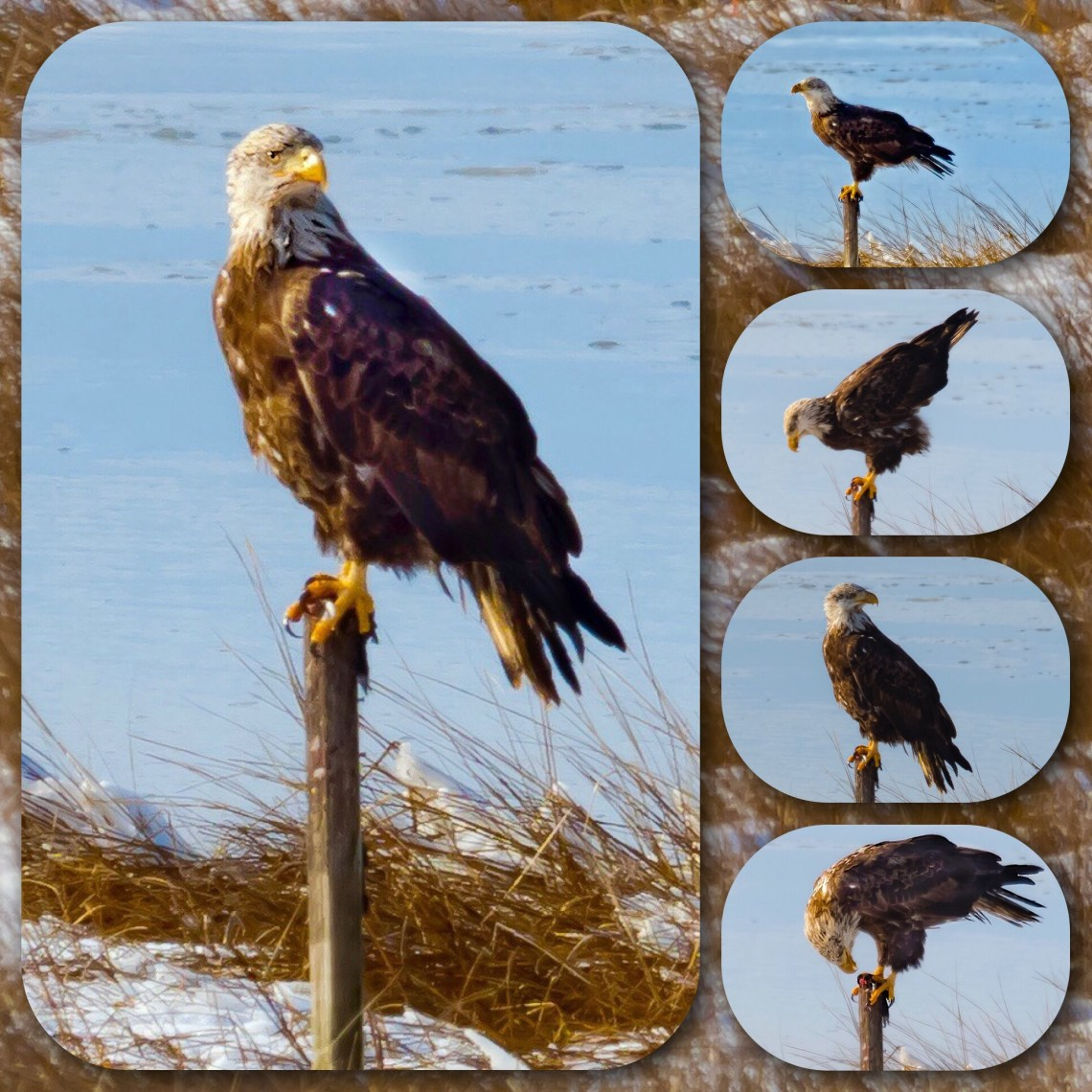 Collage of poses, Bald Eagle