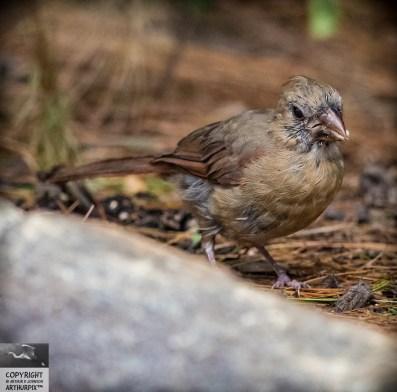 Claudette the Juvenile Female Cardinal, 3of 4