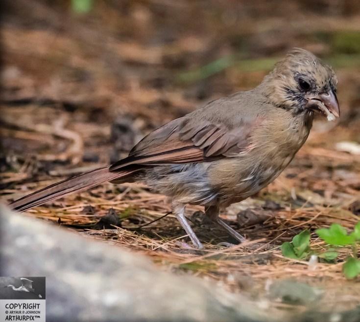 Claudette the Juvenile,Female Cardinal, 2 of e