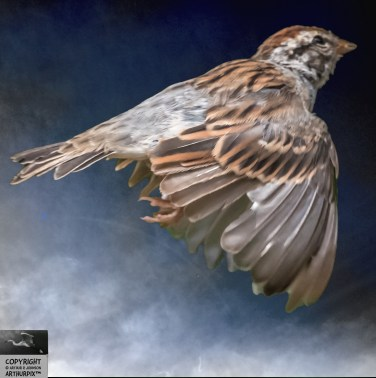 Chipping Sparrow, Flying Downstroke