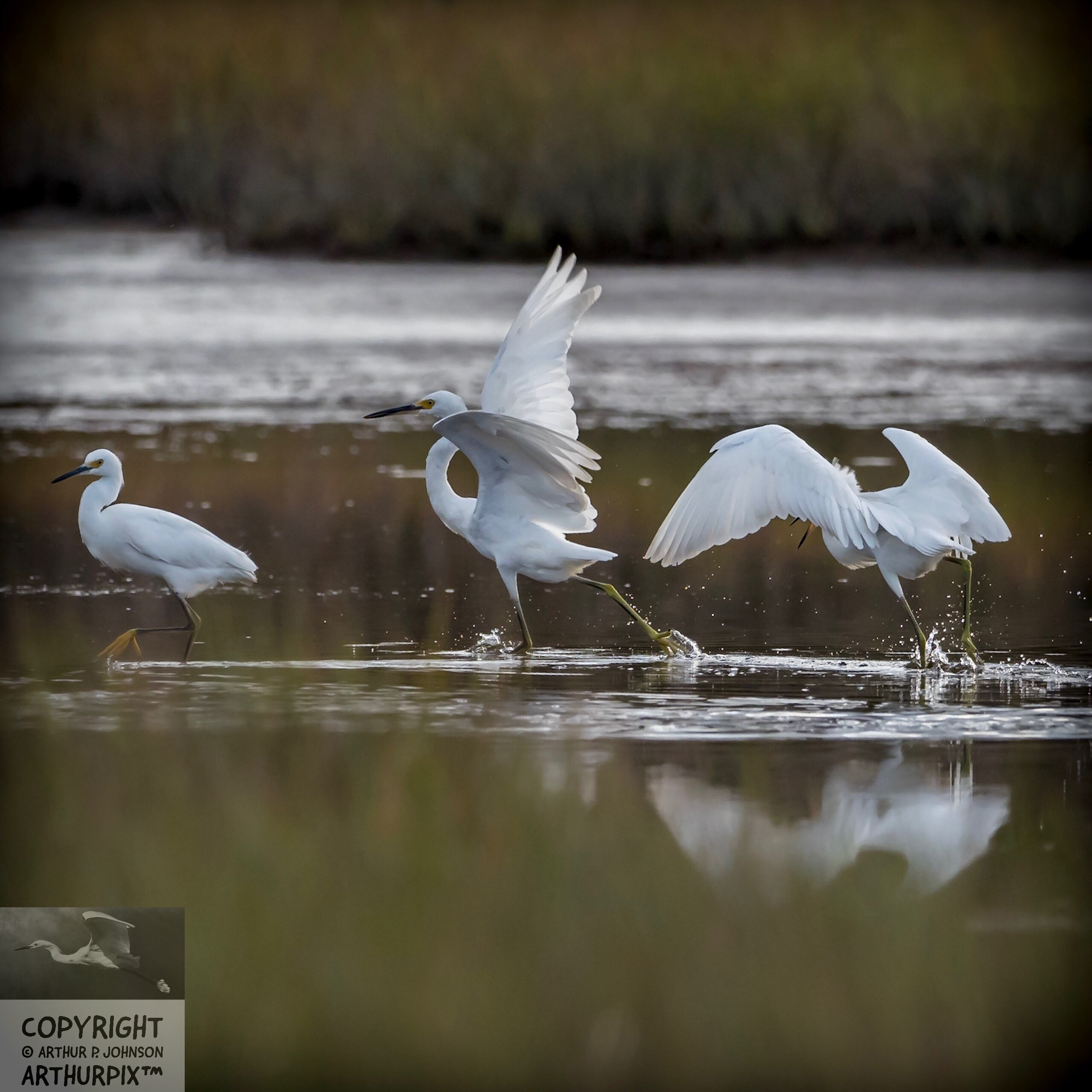 Edgar flaps his wings to gain speed, a maneuver I've often seen in Juvenile heron and mature Snowy Egrets.