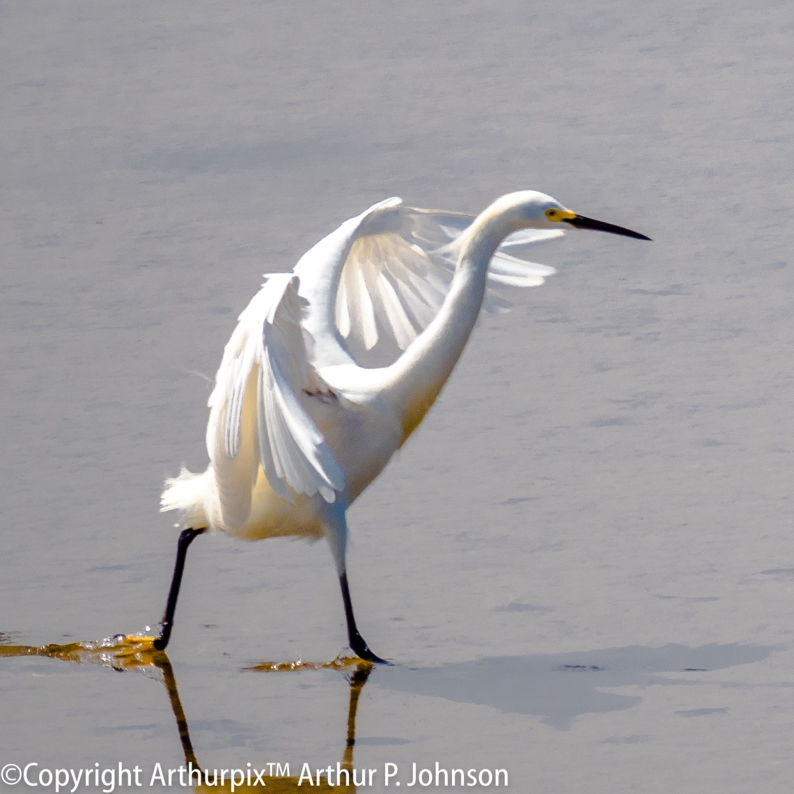 Mature Snowy Egret dragging left foot to stir up prey.