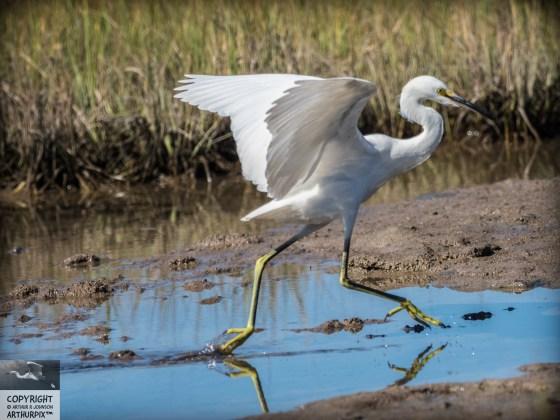 Juvenile Great Egret dragging her foot in salt marsh pool