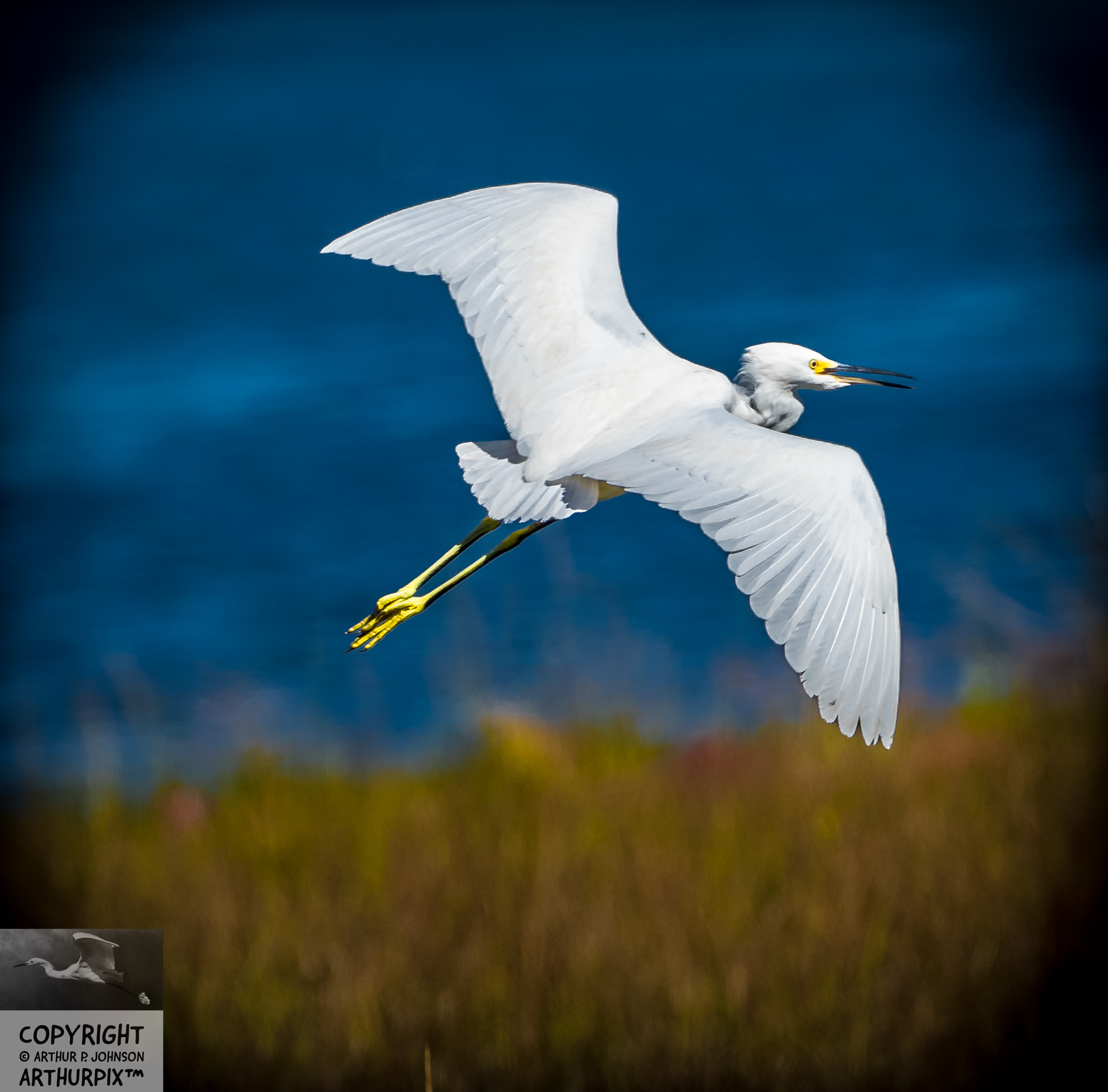 Edgar the Juvenile Great Egret Soars into the Blue