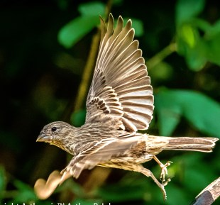 Female House Finch in Flight