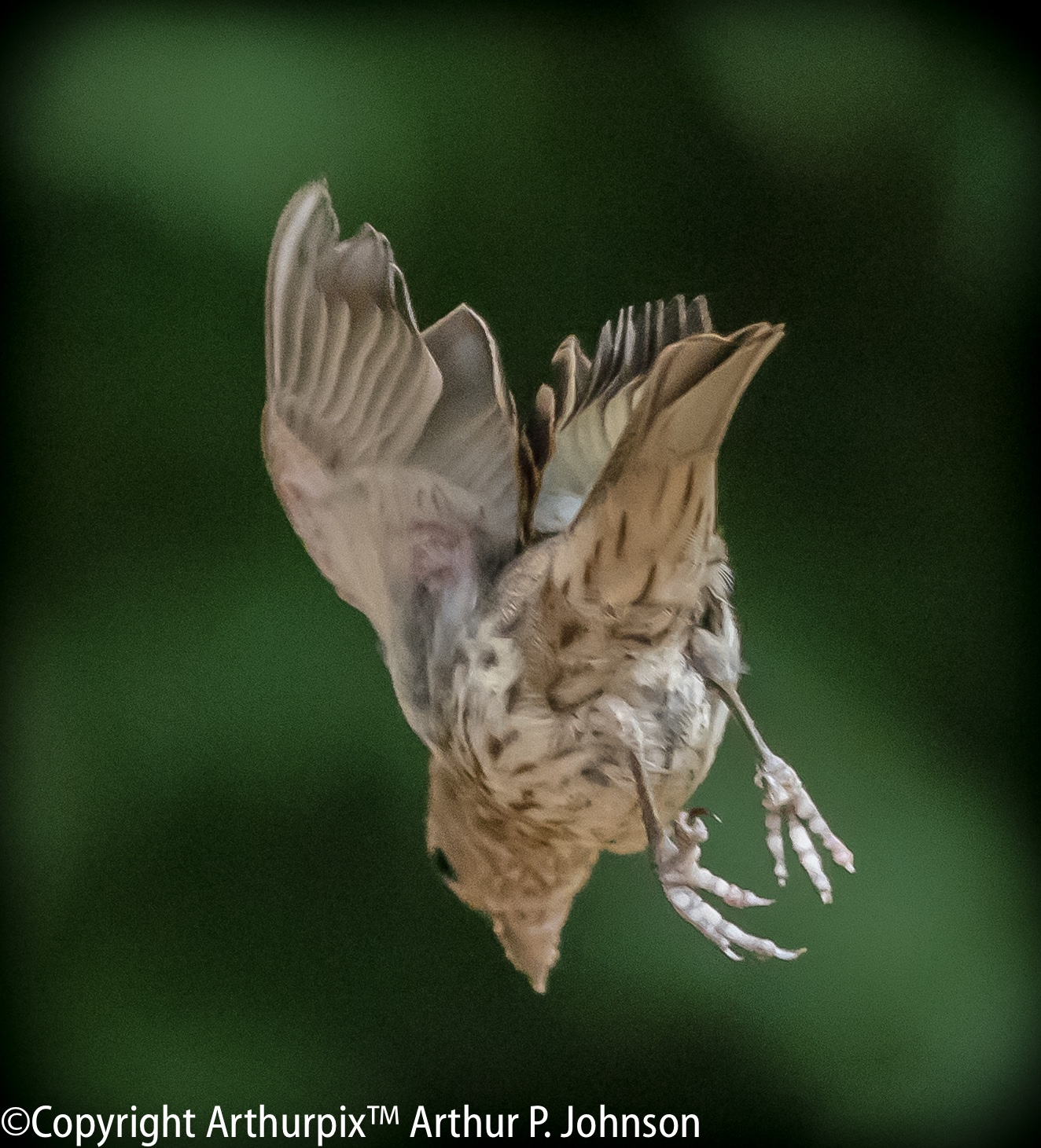Female House Finch Diving