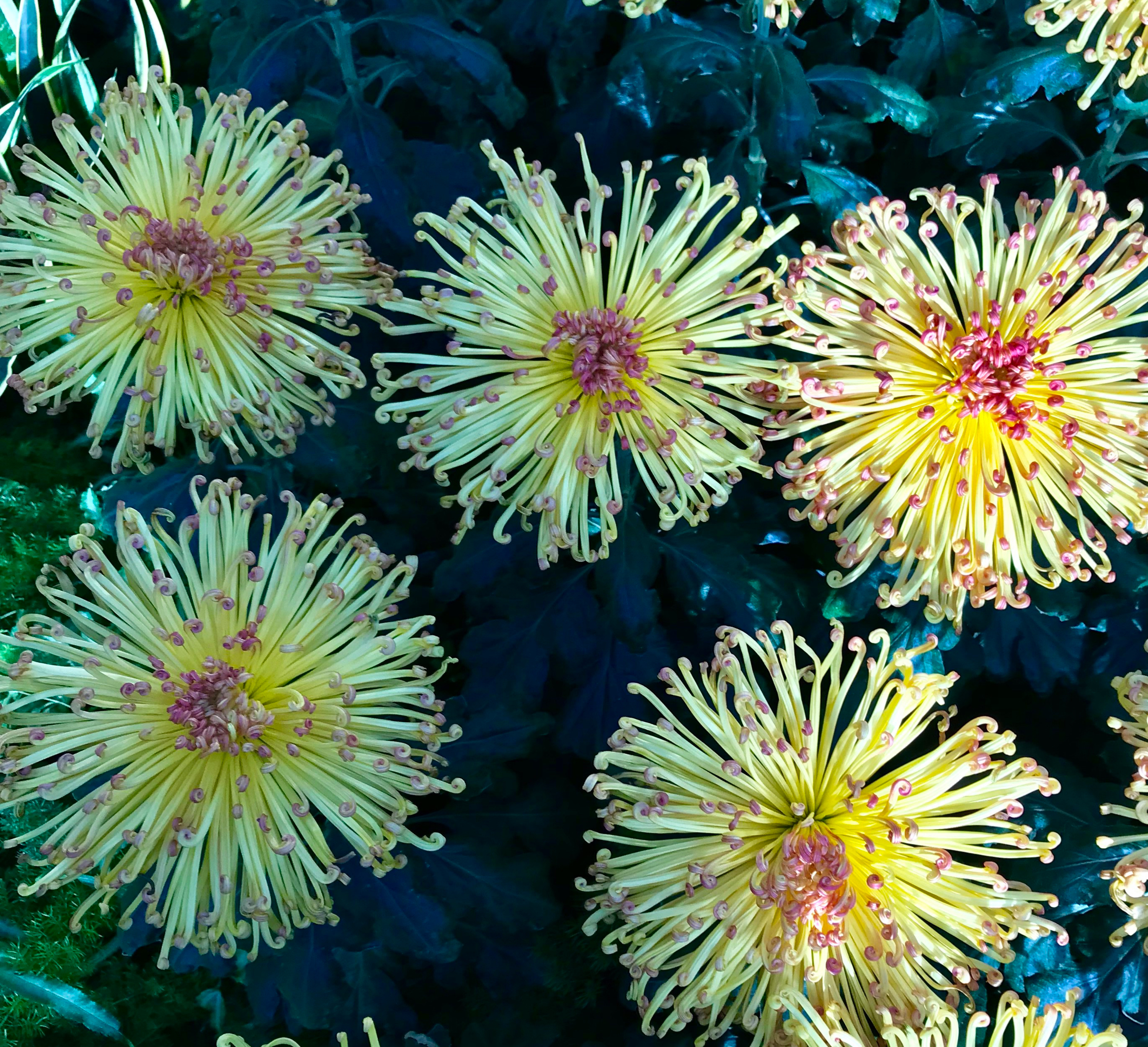 Bed of Spider Chrysanthemums
