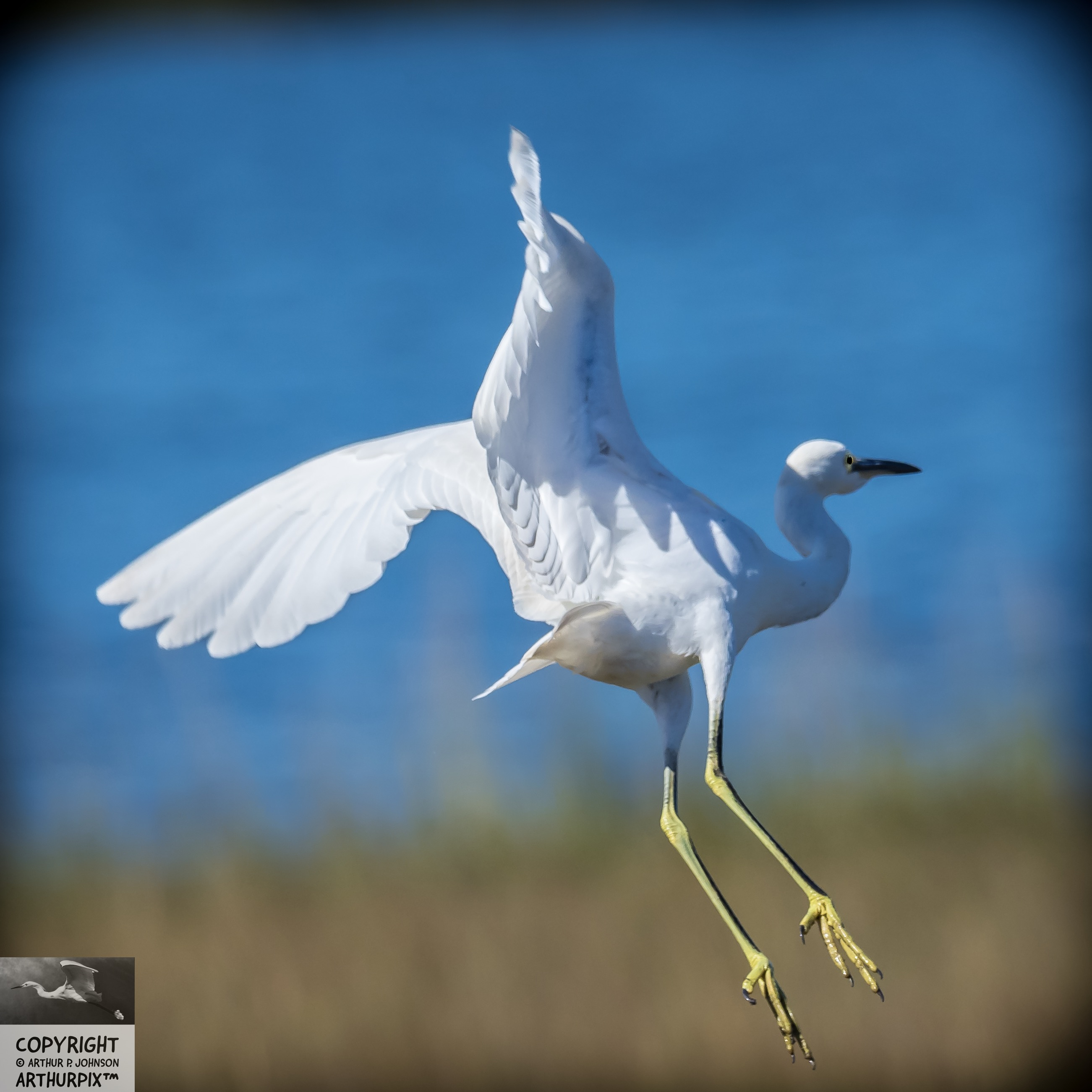 Edith the baby Great Egret takes to the air,