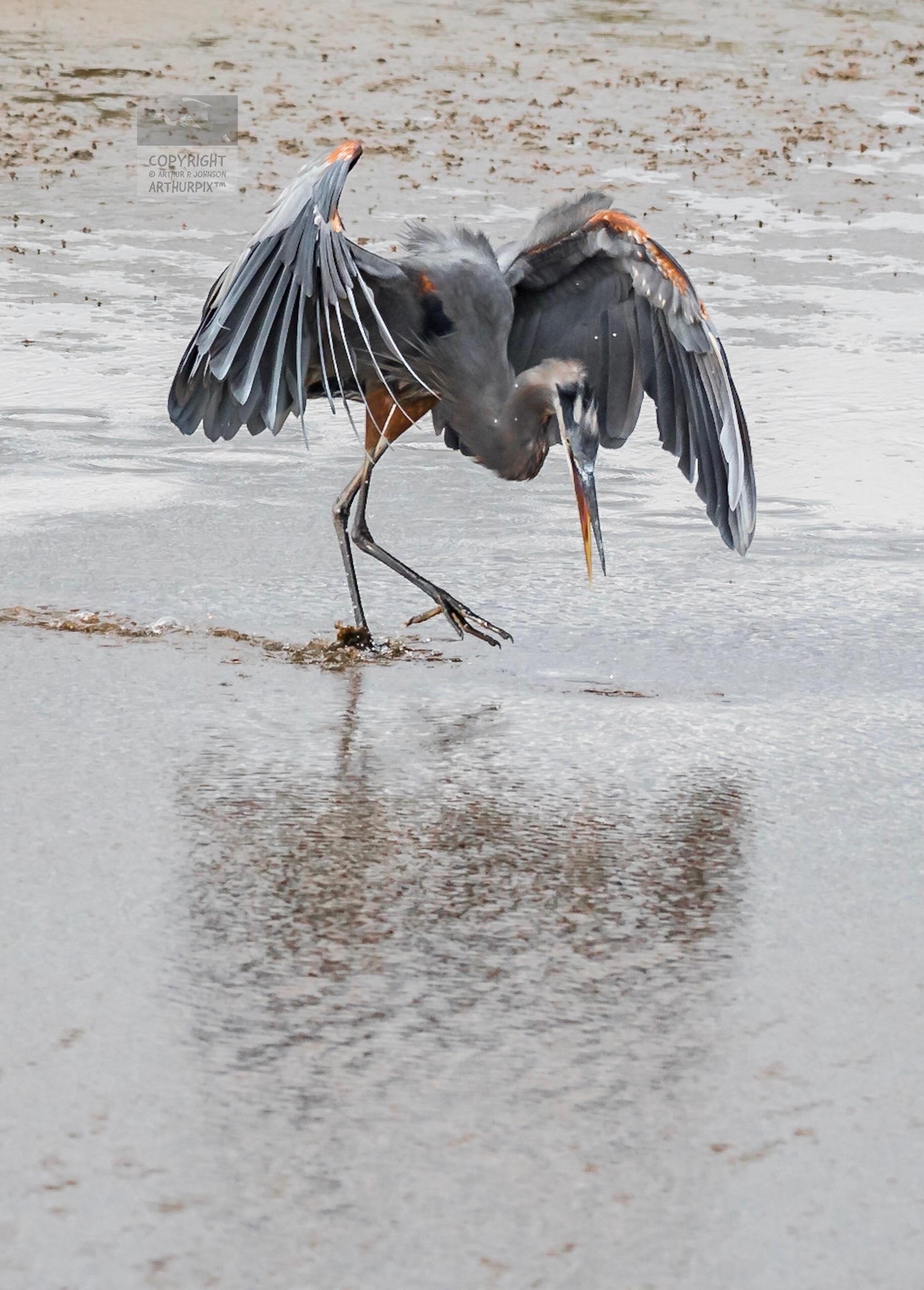 Little Blue Heron Gazing into reflecting pool