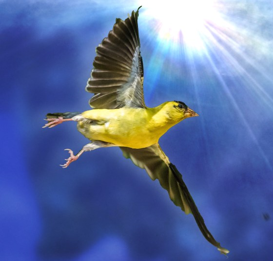 Goldfinch against blue summer sky
