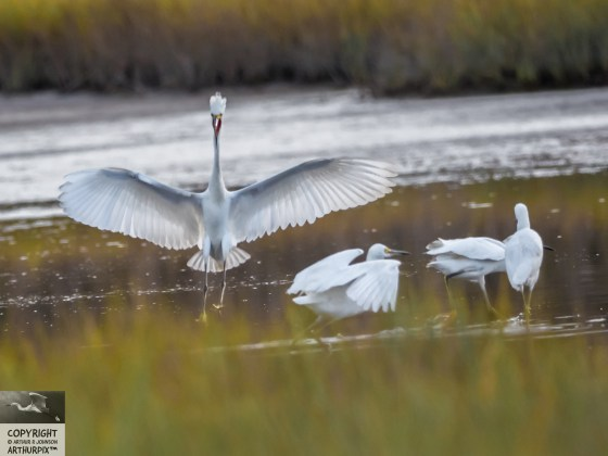 Juvenile Great Egret, wings extended, singing.