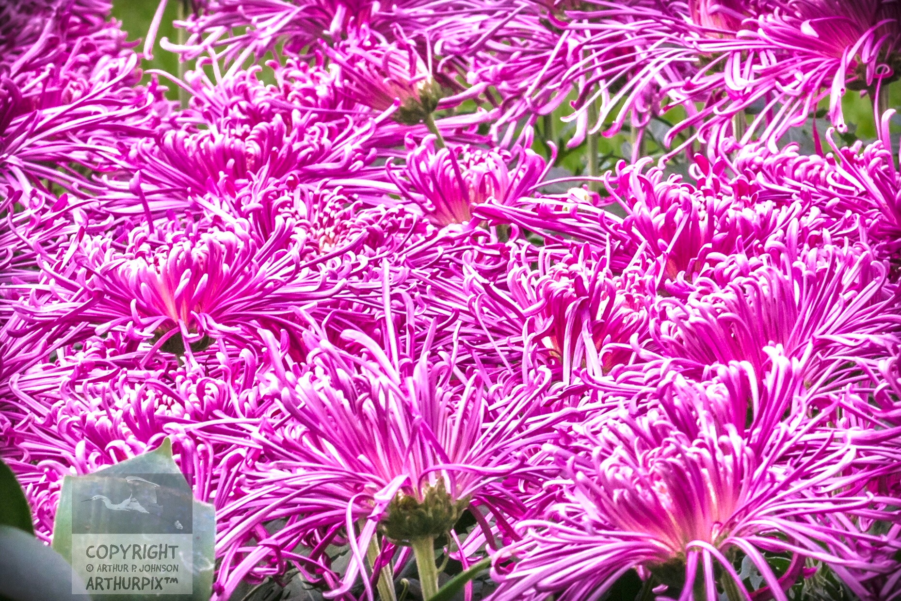 Raspberry pink Spiker Chrysanthems
