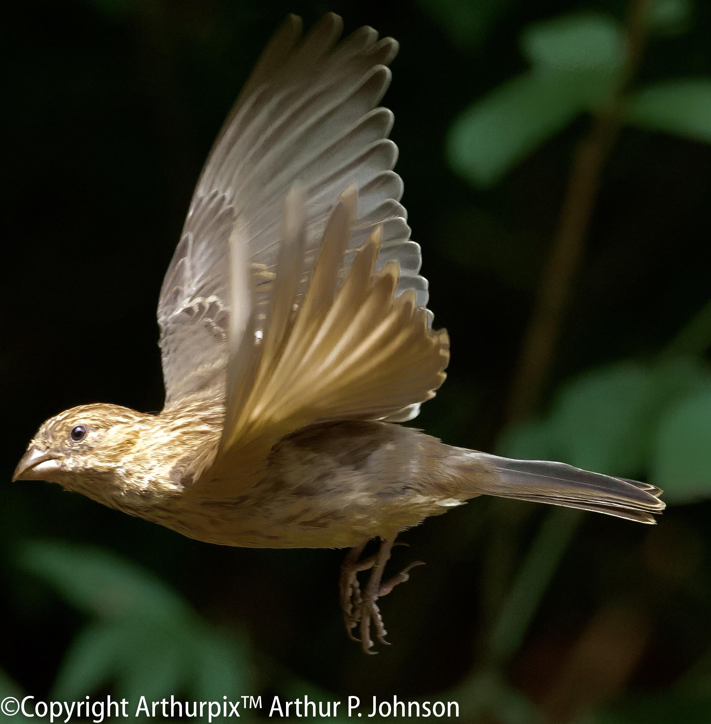 Female House Finch in Flight