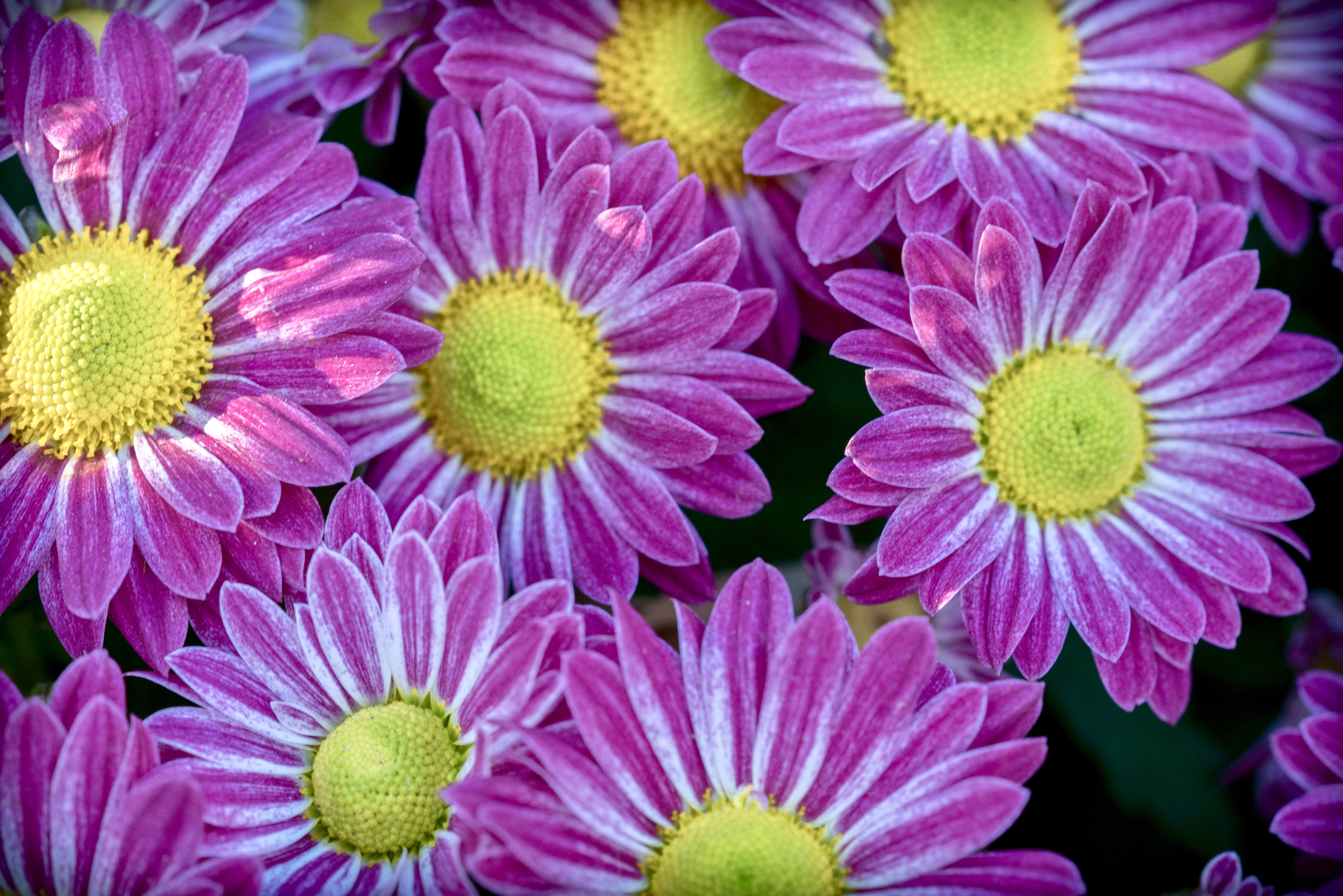 These hot pink Mums look like daisies for an excellent reason.