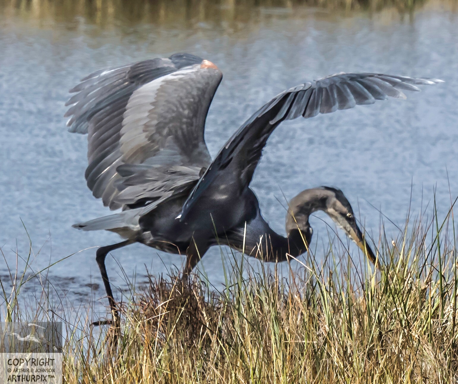 Little Blue Heron Feeding Upon Voles, Possibly