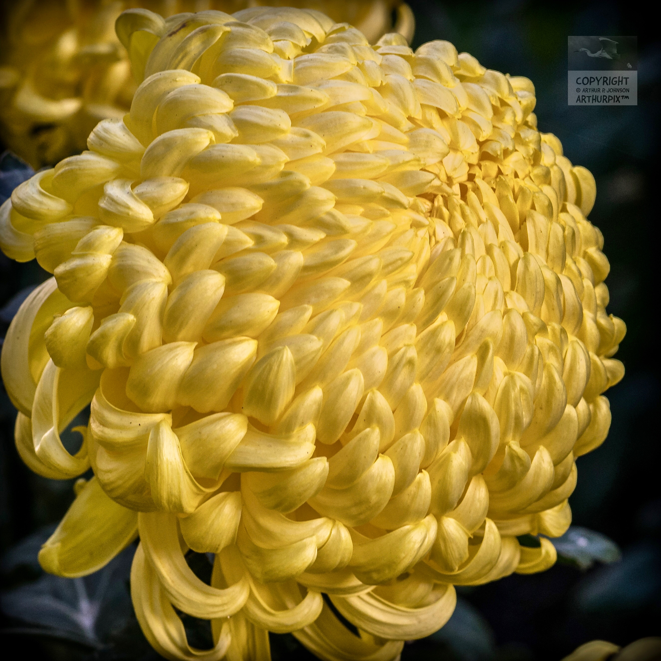 Golden Globe Chrysanthemum, November 2017