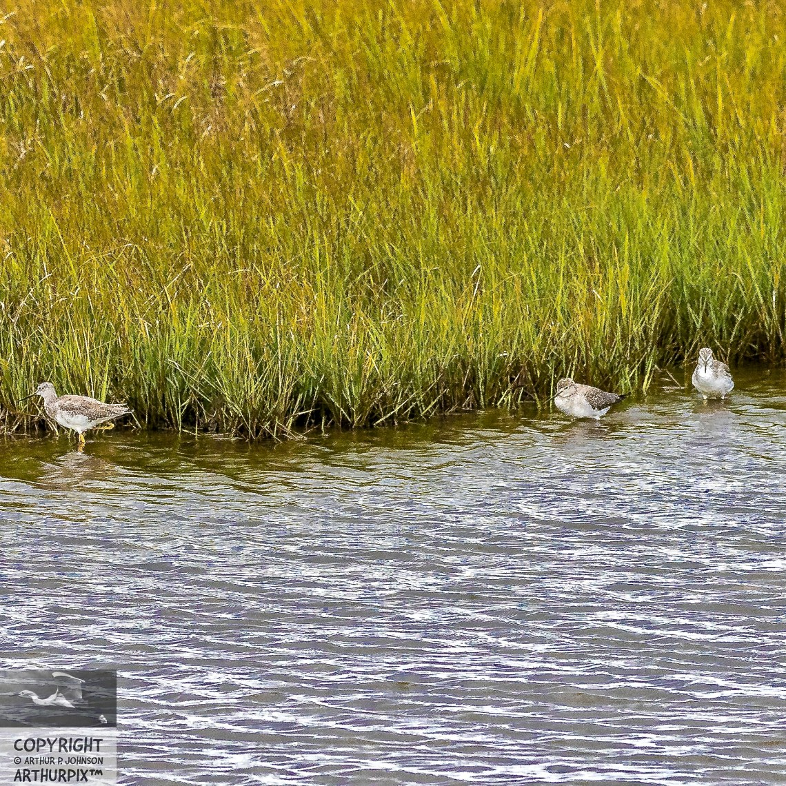 3 Lesser Yellowlegs in Salt Marsh Pool