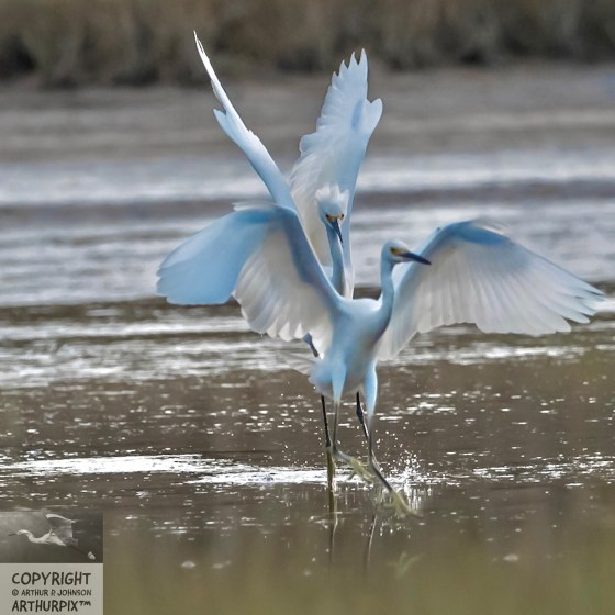 Juvenile Egrets dance upon the salt marsh
