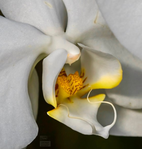 White orchid column, petal and labellum.
