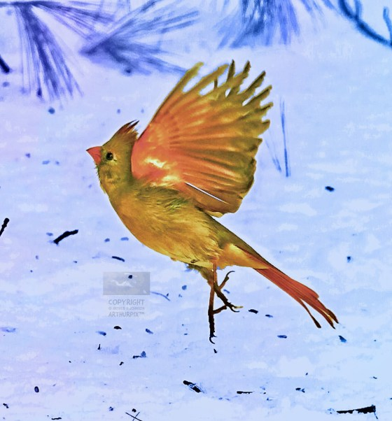 Female Cardinal in flight over field of snow