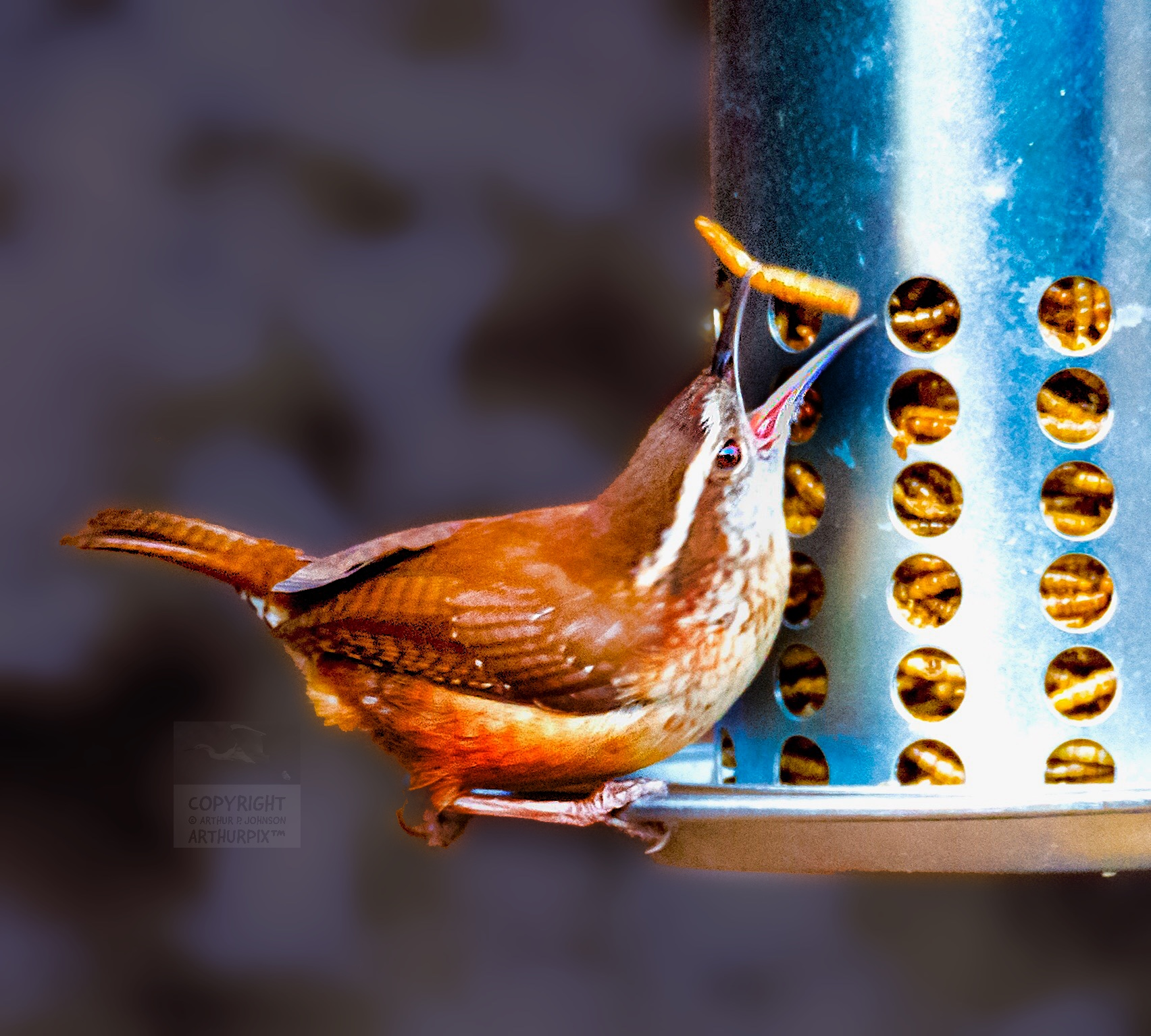 Carolina Wren eating mealworm