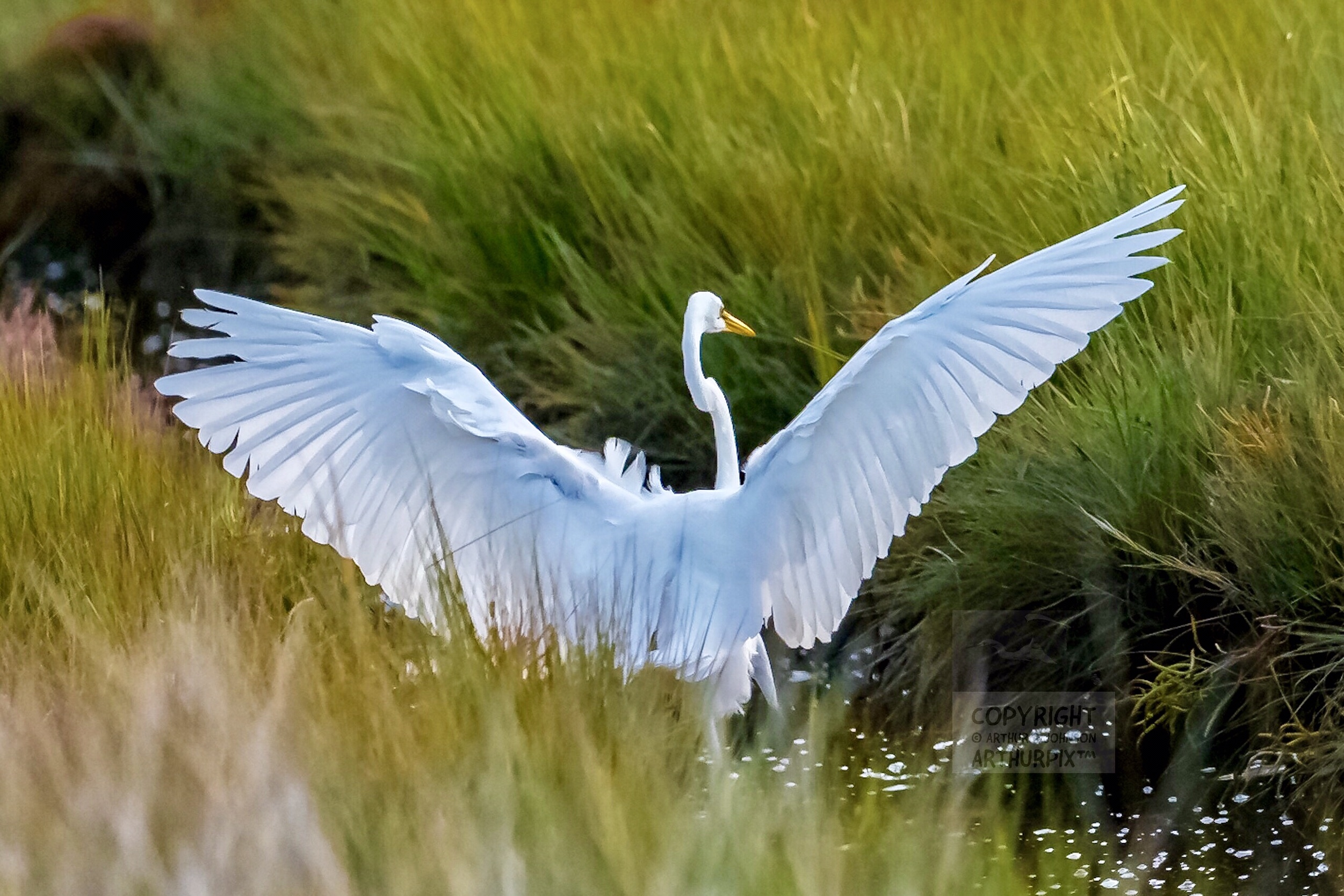 Female Great Egret, Wings Extended, Taking Flight