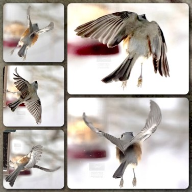 Five Images of a Tufted Tutmouse in Flight