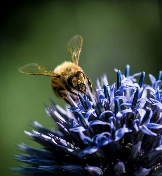 Honeybee drinking from Globe Amaranth