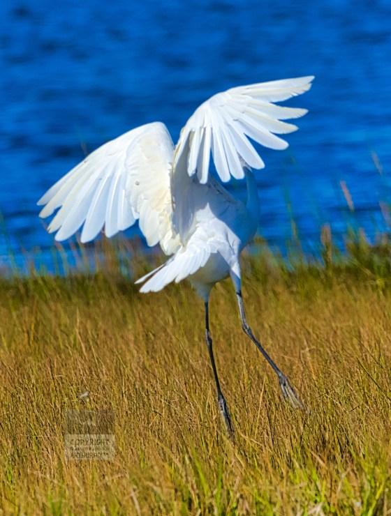 Great Egret taking flight