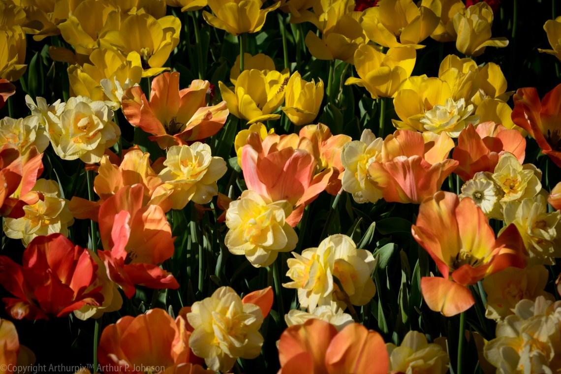 Yearning for Tulip Season