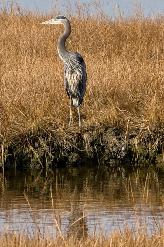 A Little Blue Heron overlooking a pool in a salt marsh