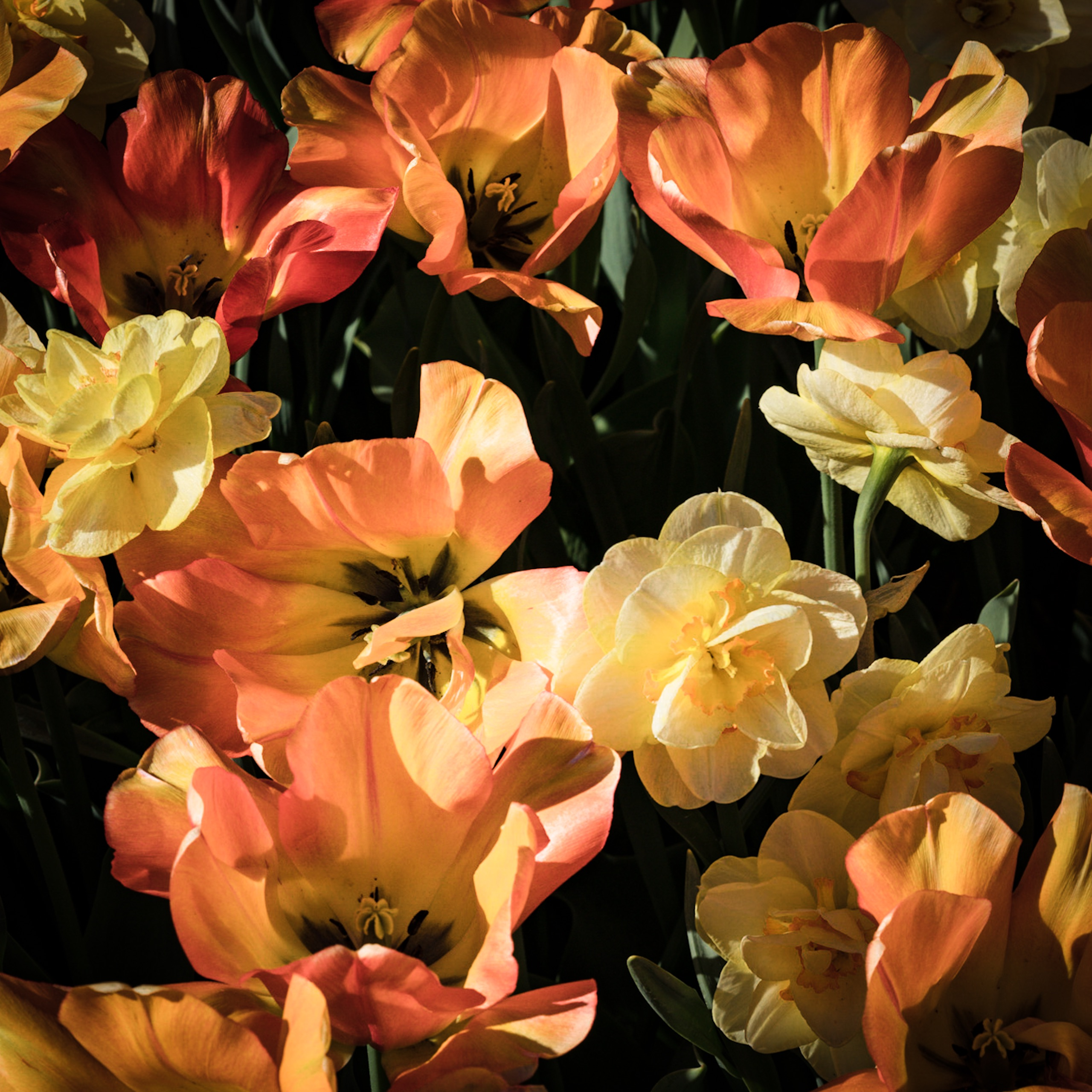 Bed of multi-colored tulips