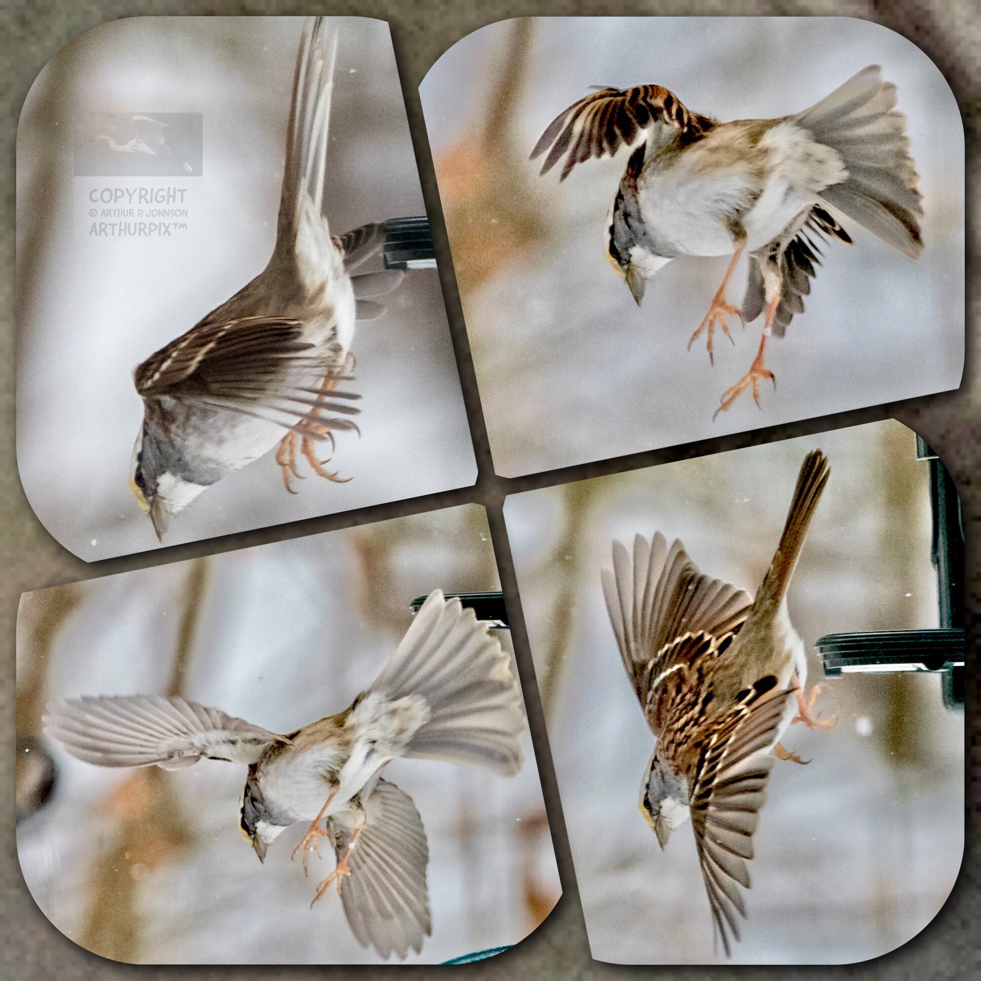 Chipping Sparrow in Flight