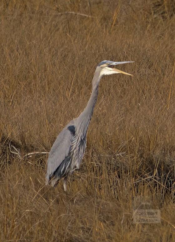 Little Blue Heron calling out in a salt marsh