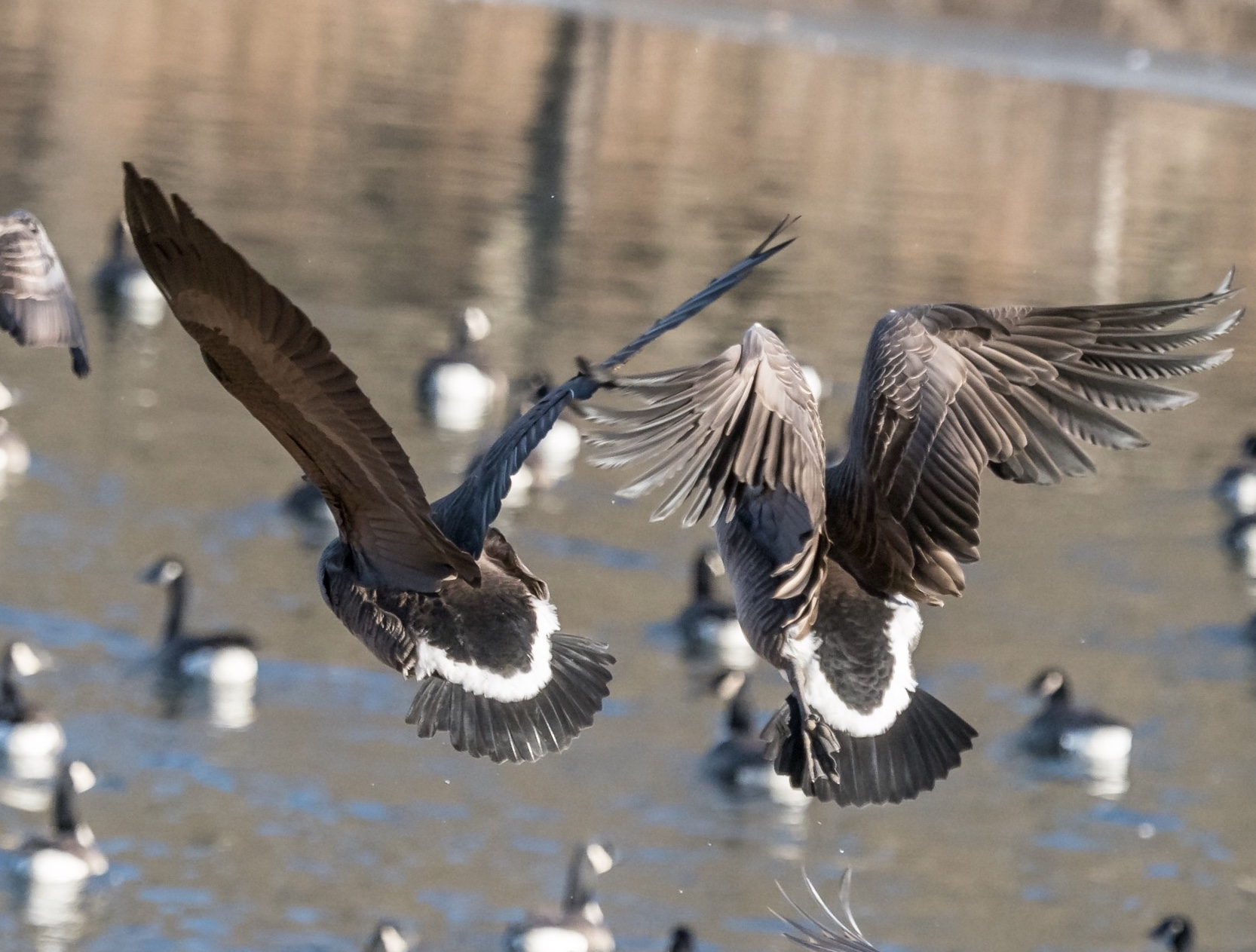 Two Canada Geese in flight, above a pond at the bottom of a hill.