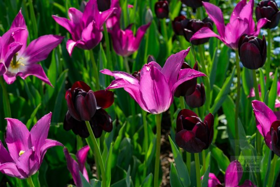 Queen of the Night and violet Tulips.