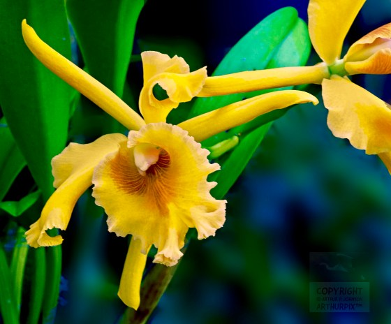 Golden Orchid from Longwood Gardens