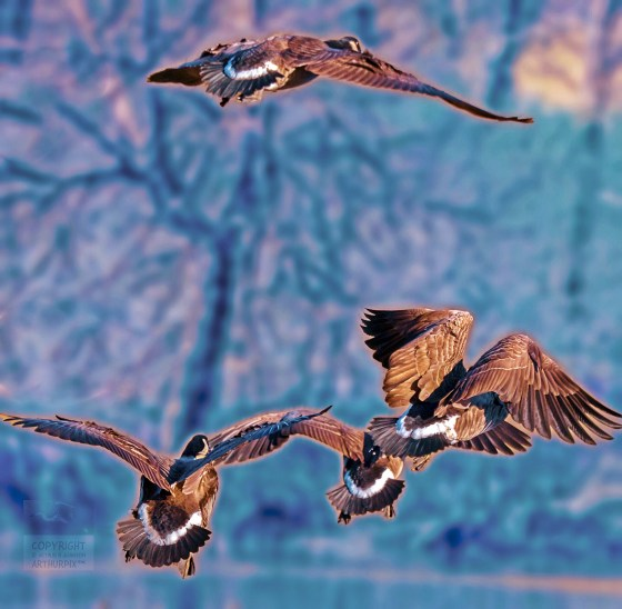 Quartet of Canada Geese takeing flight over a freezing pond in winter 2017